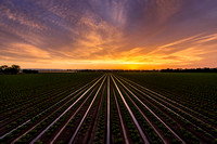 Tomato Furrow Sunset